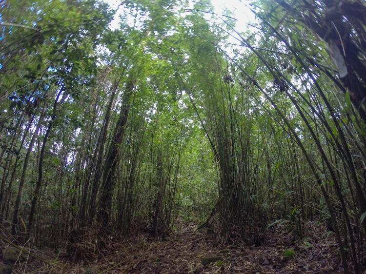 bamboo_crocker_range_borneo